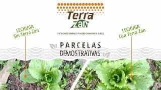 Abono orgánico Terra Zan   Parcelas demostrativas   Cultivo de lechuga