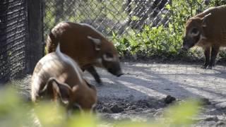 Noisy red river hog piglets
