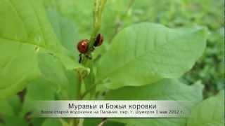 Муравьи и Божьи коровки 1 мая 2012