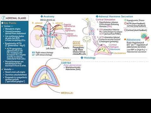 Adrenal Gland -