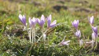 zimowit jesienny  -  Colchicum autumnale