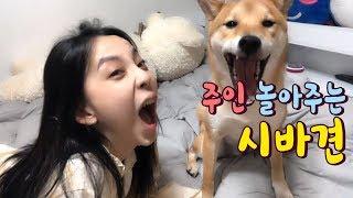 주인 놀아주는 시바견 [시바견(Shibainu,柴犬) …