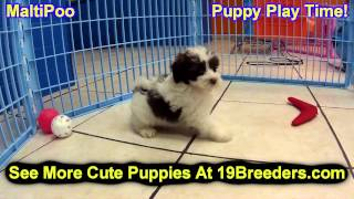 Maltipoo, Puppies, For, Sale, In, South Bend, Indiana, County, In, Allen, Hamilton, St  Joseph, Vand
