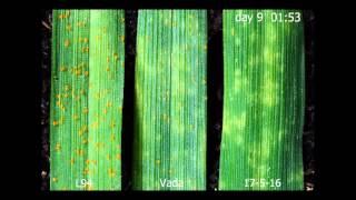 Quantitative Resistance to Biotrophic Filamentous Plant Pathogens: Video 1