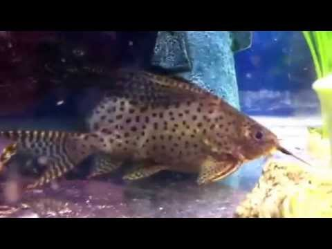 Feather fin Catfish vs algae wafer from YouTube · Duration:  7 minutes 17 seconds  · 7,000+ views · uploaded on 12/5/2010 · uploaded by LJBoldyrev