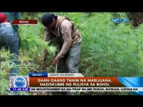 Daan-daang tanim na marijuana, nadiskubre sa Bohol