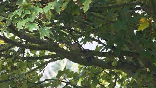 Common Redstart - 19th October 2015