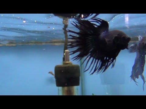 Fighting Fish - Black Orchid Crowntail Fighter Displaying