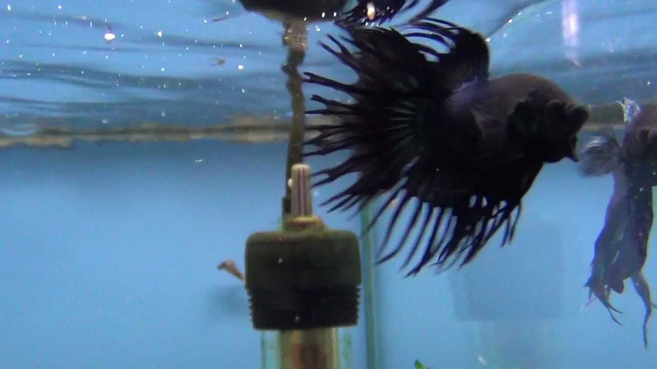Fighting Fish Black Orchid Crowntail Fighter Displaying Youtube
