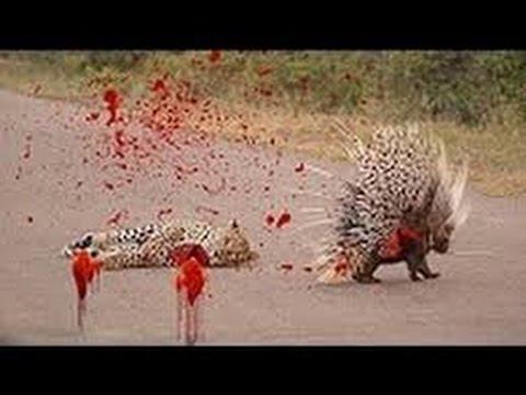 Landak dan harimau melawan | Perang berdarah Macan vs Landak