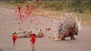 Download Video Landak dan harimau melawan | Perang berdarah Macan vs Landak MP3 3GP MP4