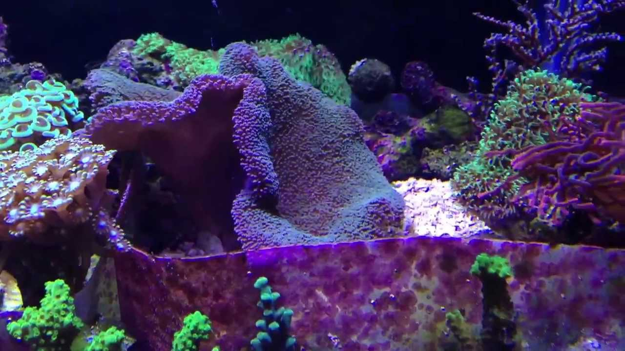 Hammer Coral Branching Flower Pot Sinularia Ricordea Yuma