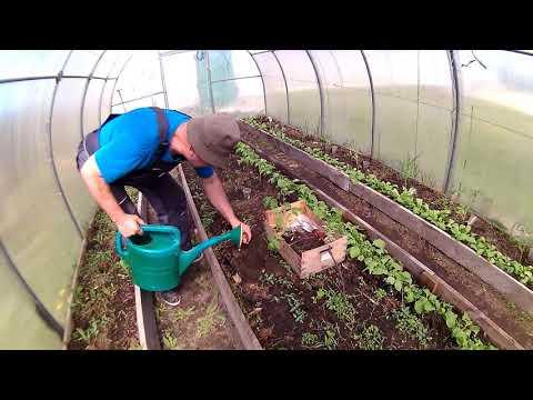 Как,без помощи друзей и подруг,высадить рассаду помидоров в тепличный грунт!
