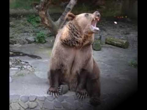 Umgangssprachliche Redewendungen - woher stammen sie? Folge 188: Jemandem einen Bären aufbinden