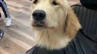Dog Enjoys Getting Hair Combed by Barber - 1067672