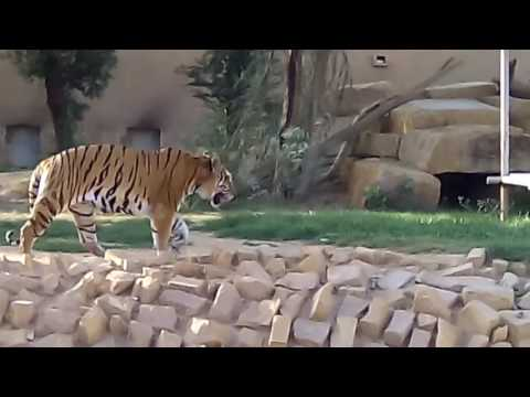 INDIAN TIGER IN RIYADH ZOO