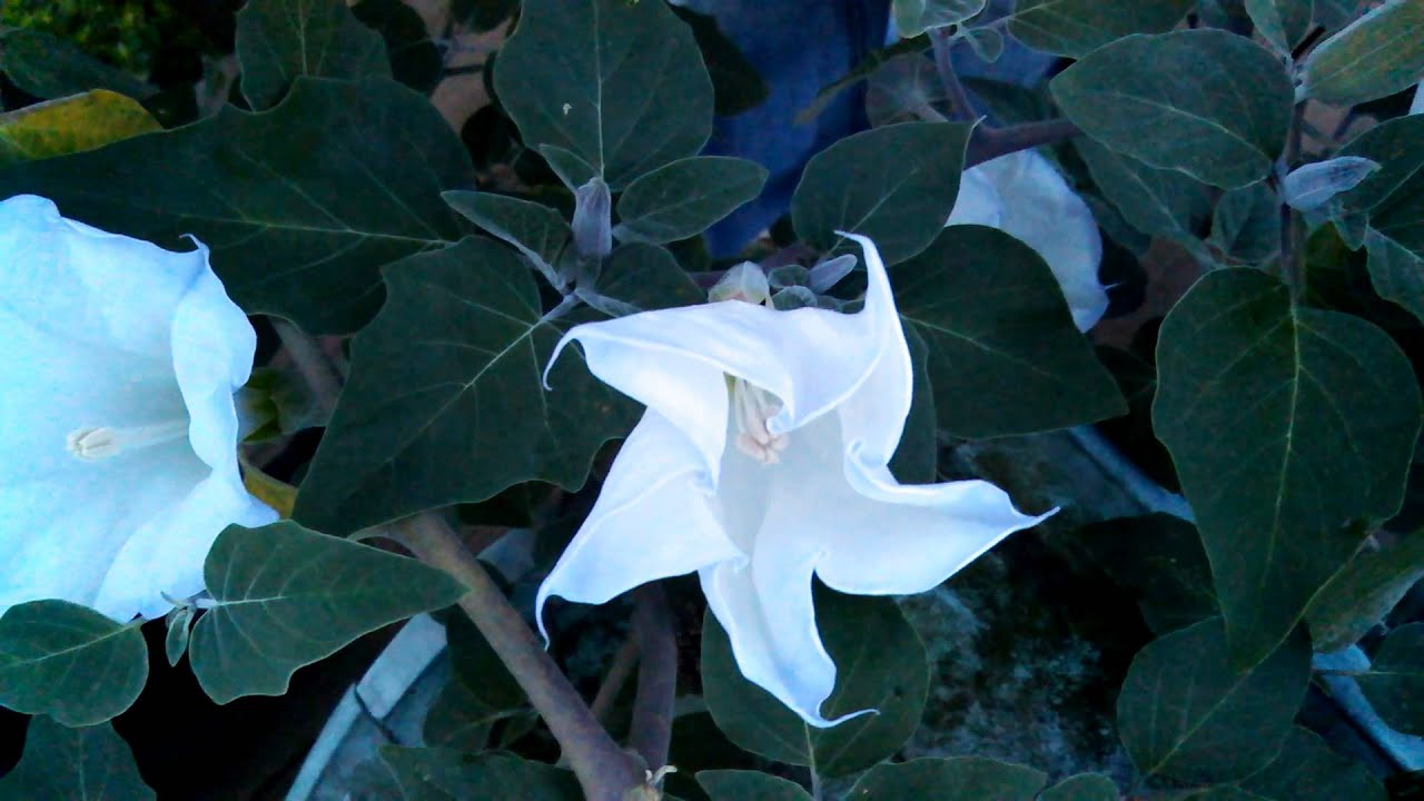 Moonflower plant bloom opening