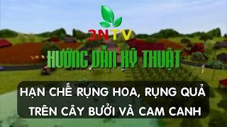 Kỹ thuật chống rụng hoa, rụng quả trên cây Bưởi và Cam canh | VTC16 | VƯỜN SINH THÁI