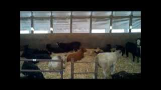 One Man Operation...pulling Cattle.wmv