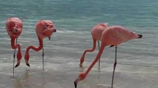 Розовые фламинго, как домашние утки. Greater Flamingos, as house duck