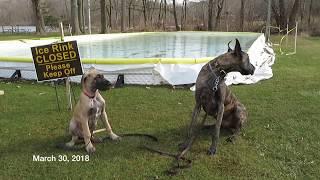 Finn the Great Dane Puppy -  GROWS UP!