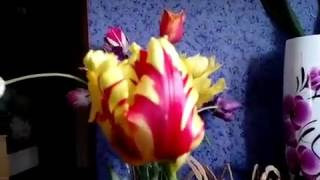 Почему вырождаются тюльпаны .  Вирус пестролепестности