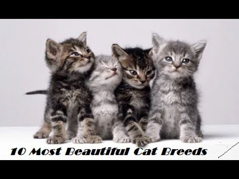 10 Best Cat Breeds | Top 10 Most Beautiful Cats In The World | Domesticated Cat Breeds |