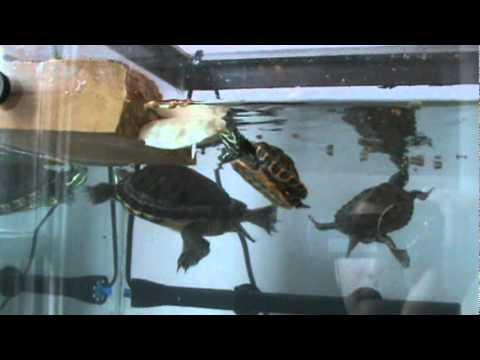 Feeding Aquatic Turtles Youtube
