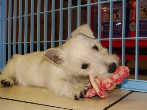 West Highland White Terrier, Westie, Puppies For Sale, In Fresno,  California, CA, 19Breeders