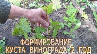 видео Выращивание винограда