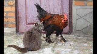 кот против петуха