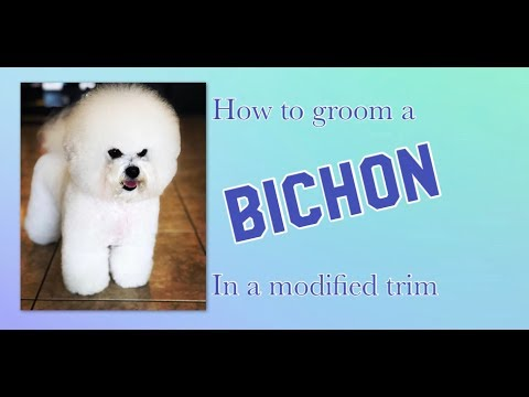 How to groom a Bichon in a Modified Bichon Trim.
