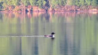 Call of the Great Northern Diver (known in North America as the Common Loon) Watch in HD!