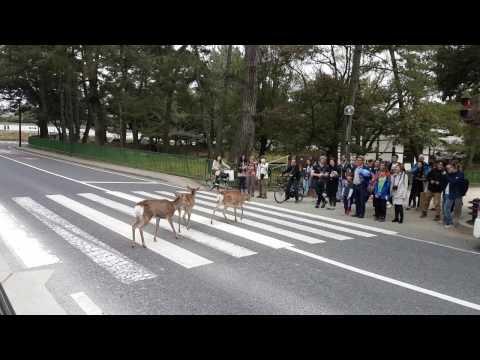 Wild deers walking across the road, Nara National Park, Japan