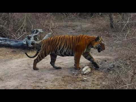 Tiger infront of vehicle, A Royal Walk at Bandipur tiger reserve forest.