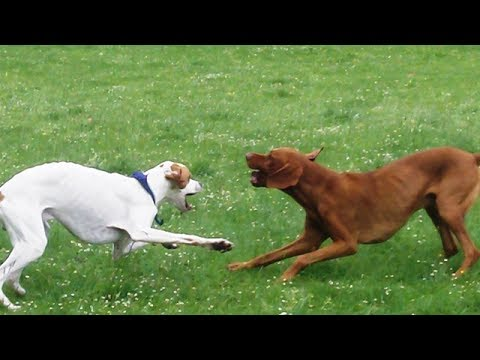 Hungarian Vizsla Archie loving Pointer Gismo.