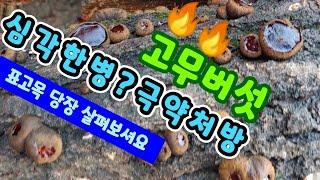 표고 버섯 종균을 심은자리에 고무버섯이 왜나와?? 불로…