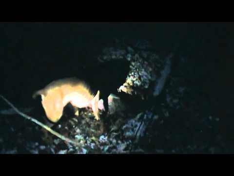 Coon Hunting With A Blackmouth Cur
