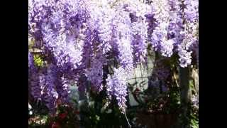 Judy's Wisteria Vine Over The Pergola