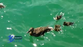 Duck, Cobourg, Ontario, Canada, 20160522