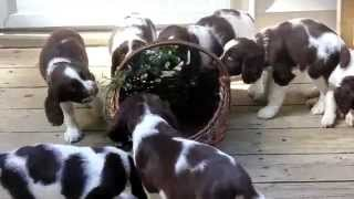 English Springer Spaniel Puppies For Sale