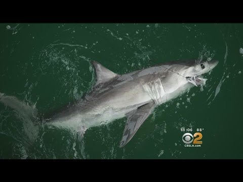Beaches Stay Closed As 12-Foot Shark Spotted In San Clemente
