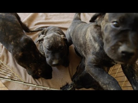 PRESA CANARIO: LIVING WITH A HOUSE FULL OF LARGE DOGS