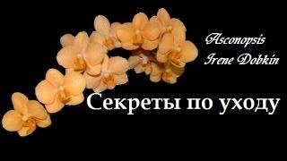 Орхидея: Asconopsis Irene Dobkin Секреты по уходу(Не забываем открывать описание▻▭▭▭▭▭ ▻Вспомогательные ссылки: Группа Вконтакте https://new.vk.com/or..., 2016-08-15T15:00:04.000Z)