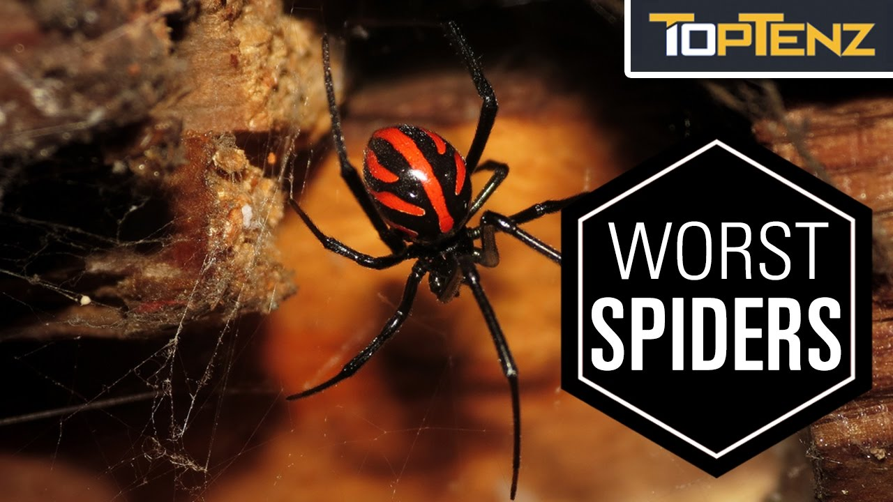 Download Top 10 Most VENOMOUS SPIDERS in the WORLD
