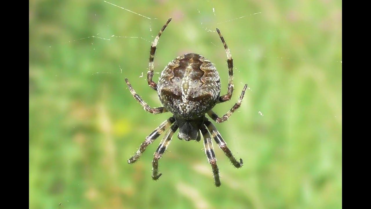 ваш пауки дальнего востока россии фото ножка если откололась