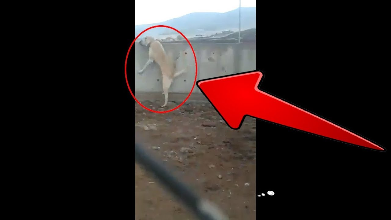 DELi ANADOLU COBAN KOPEGi BAHCEDE   CRAZY ANATOLiAN SHEPHERD DOG in GARDEN