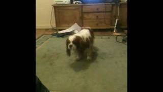 Crazy Dog , My Crazy Cavalier King Charles Spaniel