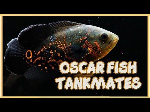 Top 15 Compatible Tankmates Of Oscar Fish