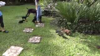 Cachorros Doberman Para La Venta En Girardota